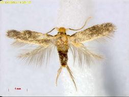 Image of <i>Etainia crypsixantha</i> (Meyrick 1918) Vári et al. 1986