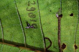 Image of <i>Ectoedemia philipi</i> Puplesis 1984