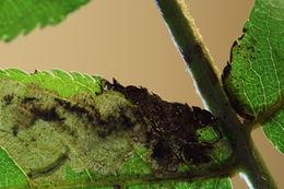Image of <i>Ectoedemia azumensis</i>