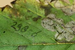 Image of <i>Ectoedemia jacutica</i> Puplesis 1988