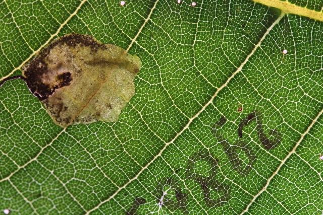 Image of <i>Ectoedemia arisi</i> Puplesis 1984