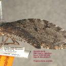 Image of <i>Polystoechotes punctatus</i>