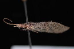 Image of <i>Lomamyia occidentalis</i> (Banks ex Baker 1905)