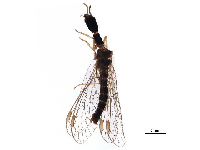 Image of Inocelliinae