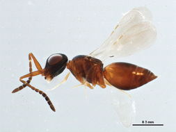 Image of ceraphronid wasps