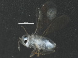 Image of Aphelinus