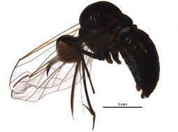 Image of bee flies
