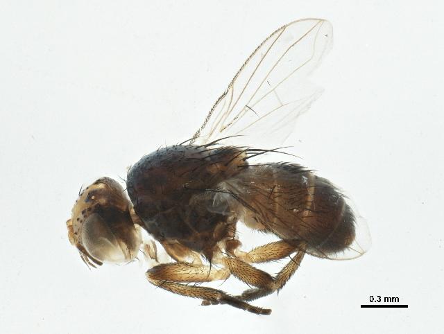 Image of <i>Siphona sonorensis</i> O'Hara 1984