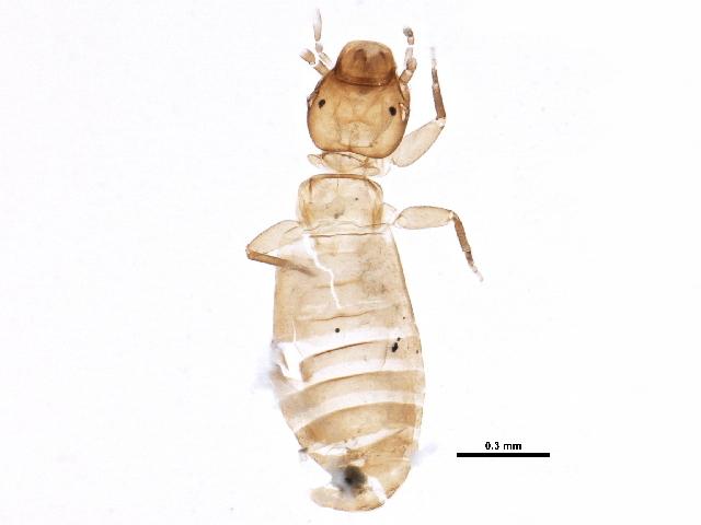 Image of Liposcelis