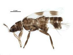 Image of Aeolothrips