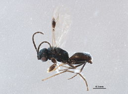 Image of dryinids