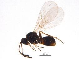 Image of Figitinae