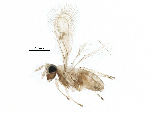 Image of trichogrammatid wasps
