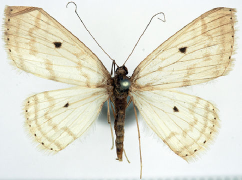 Image of <i>Derambila melagonata</i> Walker 1863