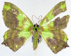 Image of <i>Agathia <i>obnubilata</i></i> ssp. obnubilata