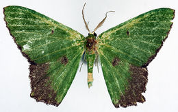 Image of <i>Chrysochloroma saturata</i> Warren 1912