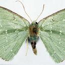 Image of <i>Oxychora spilota</i> Warren 1912