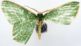 Image of <i>Prasinocyma angulilinea</i> Warren 1912