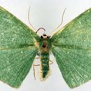 Image of <i>Eretmopus marinaria</i> Guenée 1857