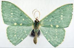 Image of <i>Prasinocyma glauca</i> Warren 1907