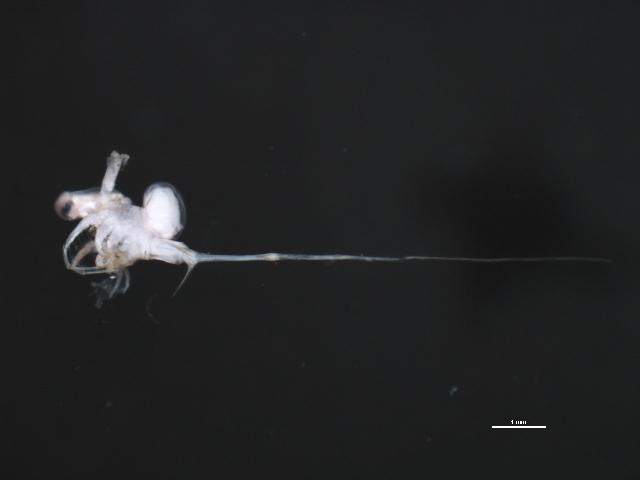 Image of Spiny waterflea