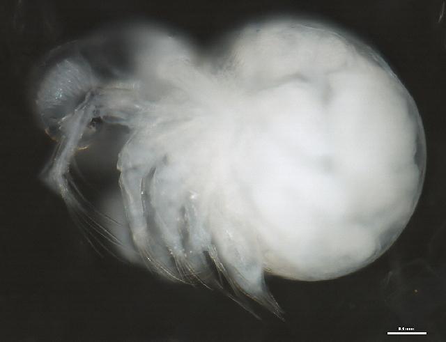 Image of Podon