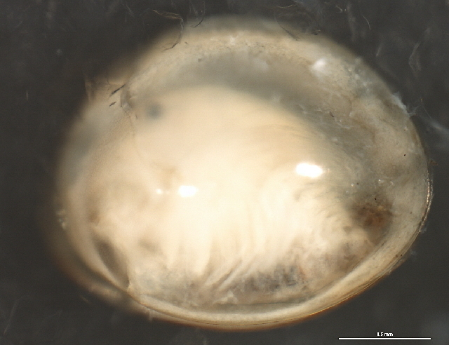 Image of Holarctic Clam Shrimp