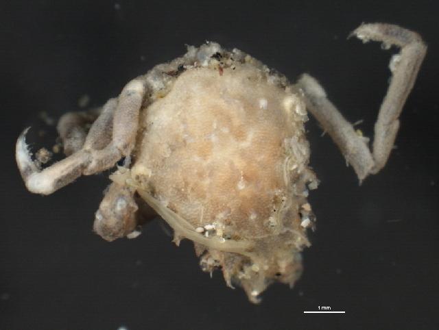 Image of <i>Pugettia gracilis</i> Dana 1851