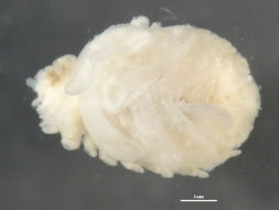 Image of Bopyridae