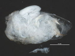 Image of <i>Sida crystallina</i> (O. F. Müller 1776)