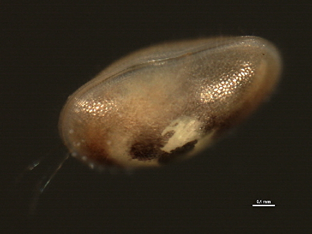 Image of Cyprididae