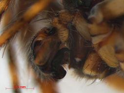 Image of <i>Gibbaranea gibbosa</i> (Walckenaer 1802)