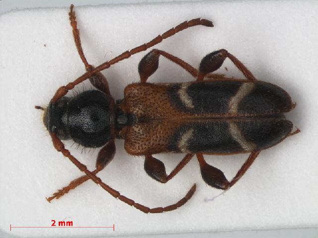 Image of Poecilium