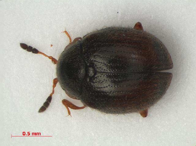 Image of Sphindinae