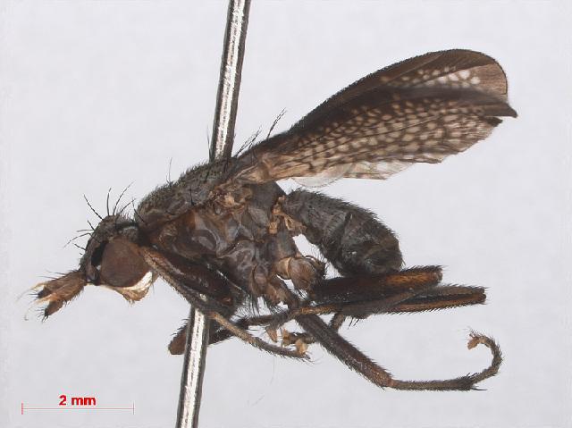 Image of Coremacera