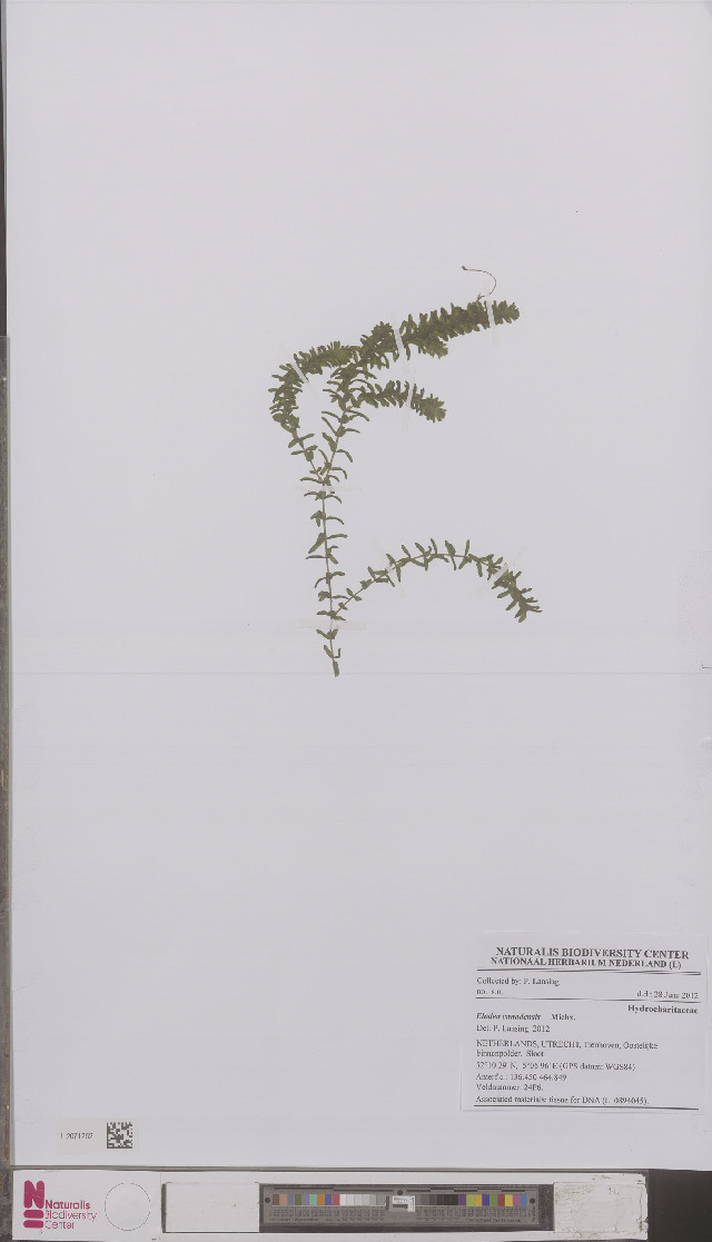 Image of waterweed