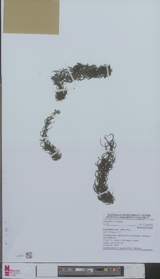 Image of tape-grass family