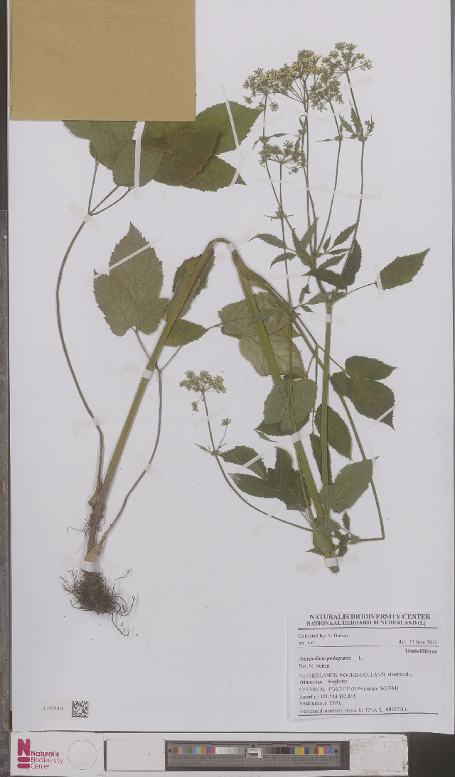 Image of goutweed