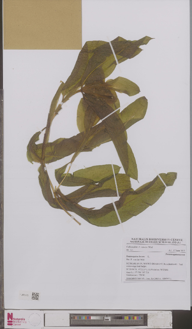 Image of pondweed