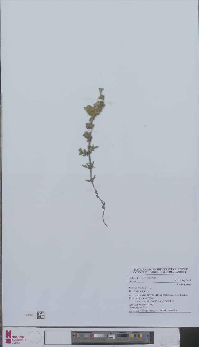 Image of vervain