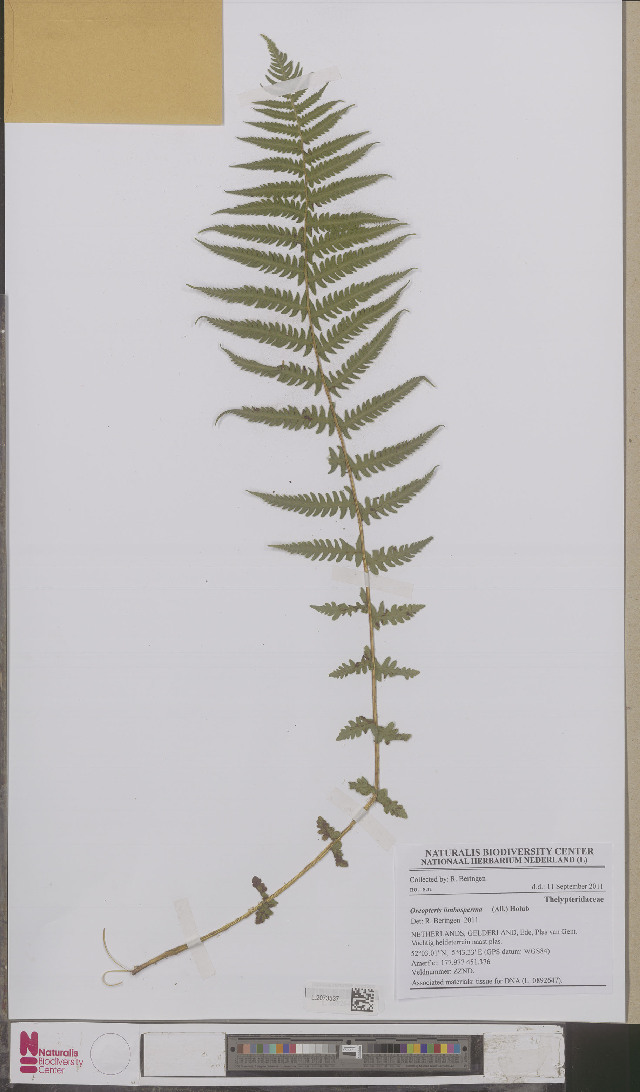 Image of marsh fern family