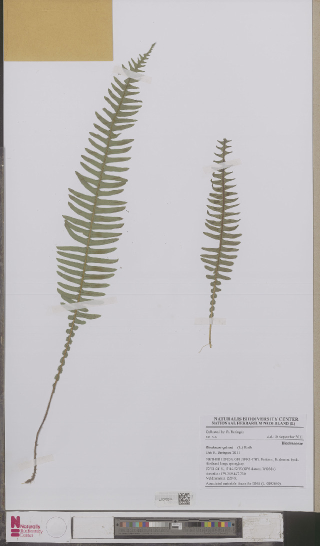 Image of midsorus fern