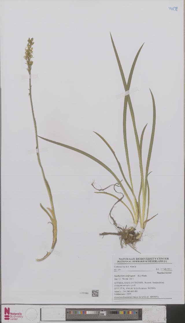 Image of Nartheciaceae