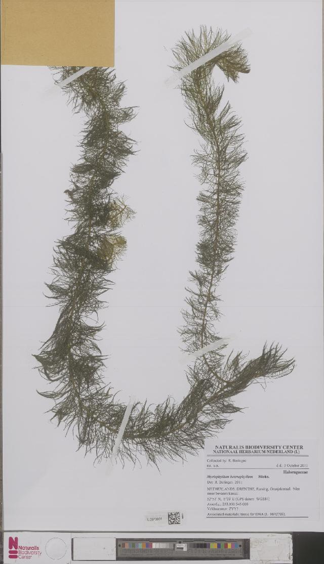 Image of water milfoil