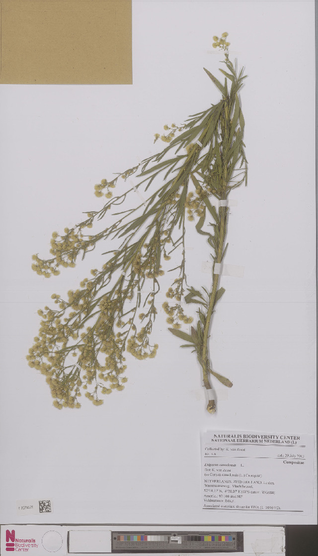 Image of horseweed