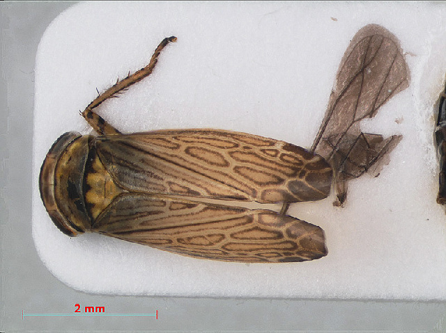 Image of Paramesus