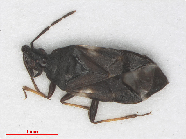 Image of Temnostethus