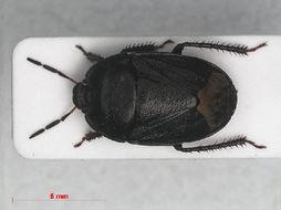 Image of White-margined Burrower Bug