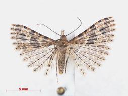 Image of twenty-plume moth