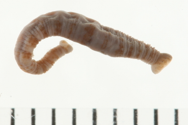Image of <i>Crangonobdella spitzbergensis</i>